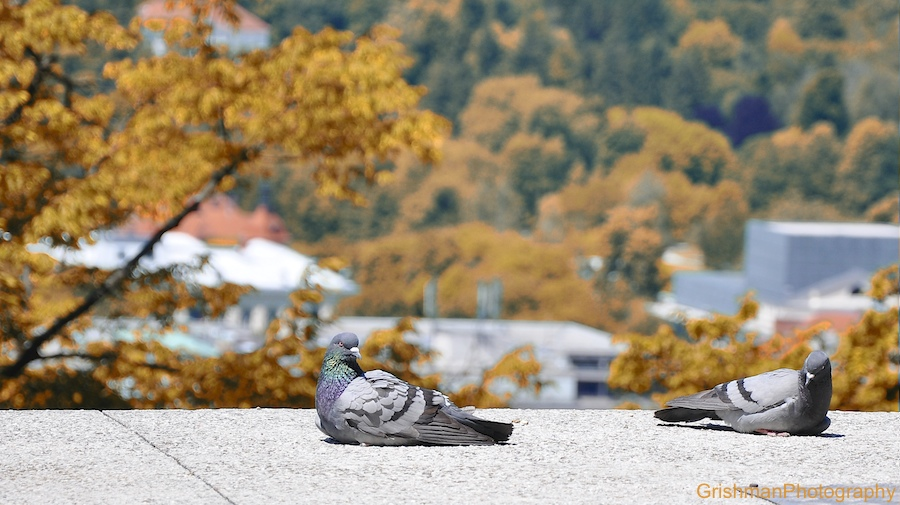 golob, zivali, foto: grisa miheljak, griša, grishmanphotography