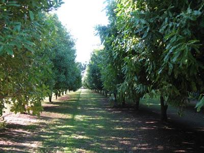 Cultivo comercial de Macadâmia