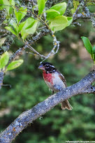 First Migration for Rose-breasted Grosbeak