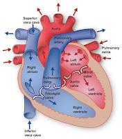 cara kerja jantung, sistem listrik jantung, anatomi fisiologi jantung