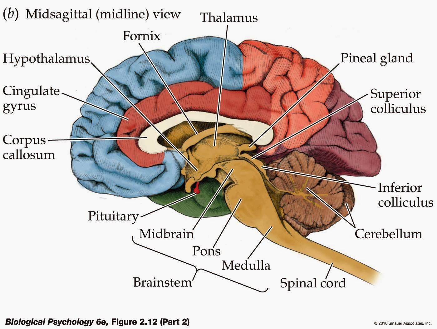Diagram Of Nervous Tissue Location | Get Free Image About ...