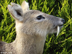 Vampire Deer
