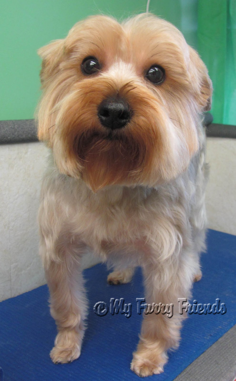 Pet Grooming The Good The Bad The Furry Yorkie Day