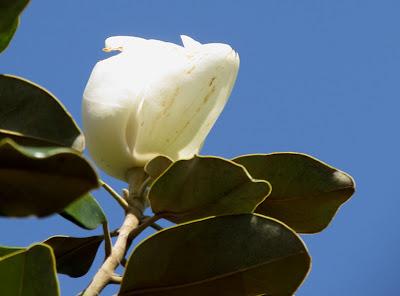 Annieinaustin,Little Gem magnolia bud