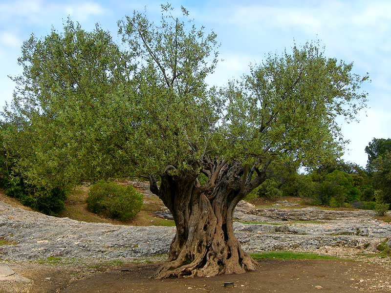 Santi e simboli l olivo e le sue leggende for Alberi simili alle querce