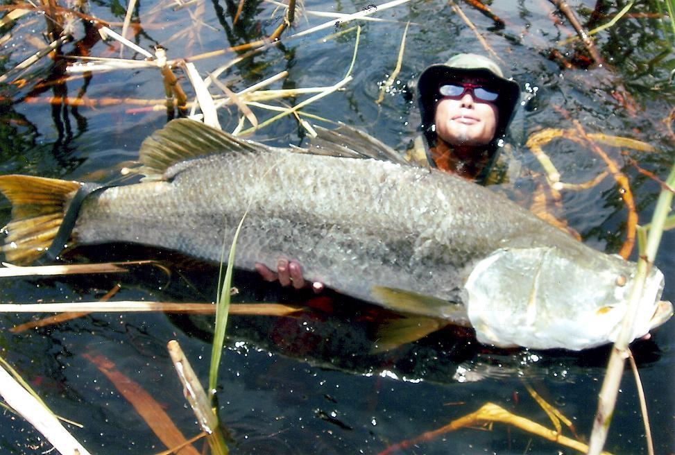 Big fishes of the world barramundi lates calcarifer for World largest fish