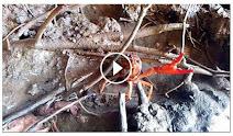 Vídeo Procambarus clarkii. Cangrejo de río americano