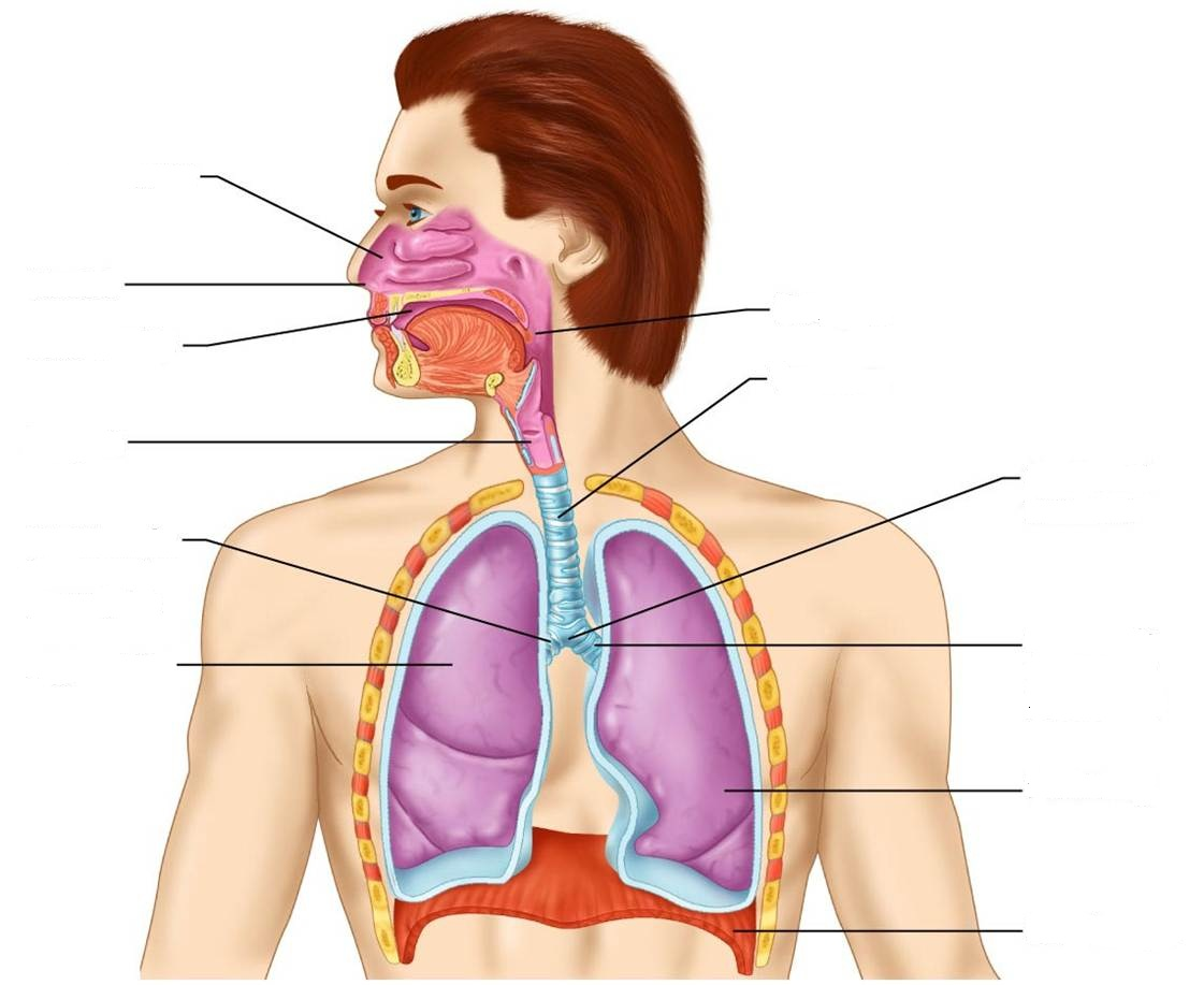 Learn respiratory system diagram by nazufini memorize section ccuart Images