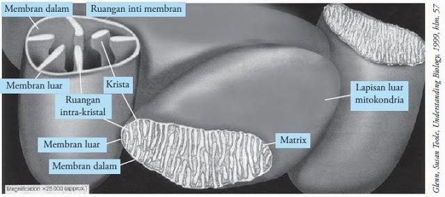 struktur-mitokondria