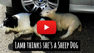 Watch this cute lamb who thinks she is a sheep dog due to her upbringing with the Collies via geniushowto.blogspot.com viral pet videos