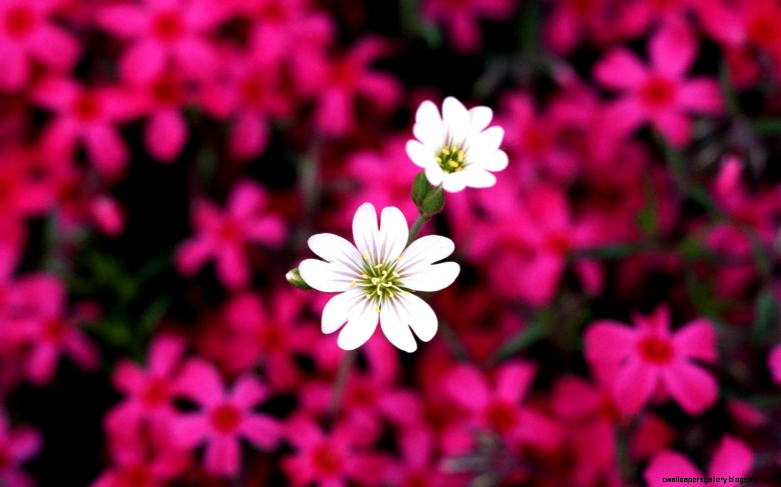 Collection of Desktop Flowers Wallpaper Backgrounds on Wall Papers