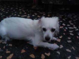 Χάθηκε άσπρη σκυλίτσα στο Αιγάλεω, στην οδό Τομπάζη και Βυζαντίου. Είναι μαμά 5 κουταβιών και επείγει να βρεθεί. Φορούσε κόκκινο λουρί και ένα μικρό του Ολυμπιακού.