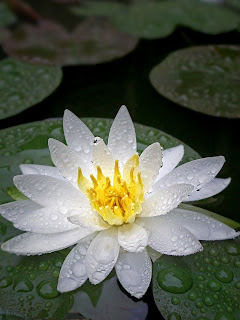 Exotic White Water Lily