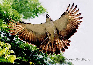 Philippine Eagle pictures
