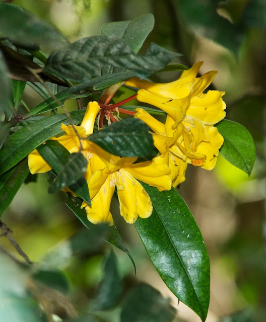 Rhododendron retivenium