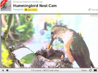hummingbird nest cam