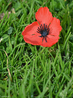 red poppy for remembrance