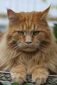 Maine coon Curry