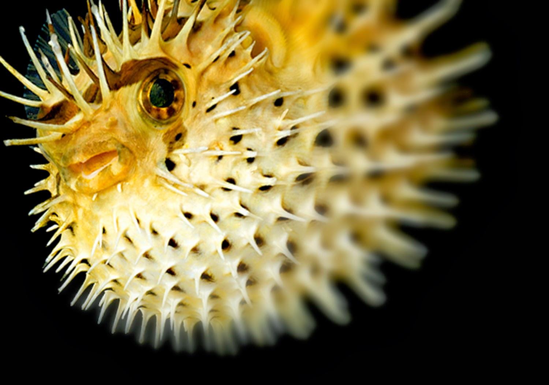 Ikan Puffer di Jepang