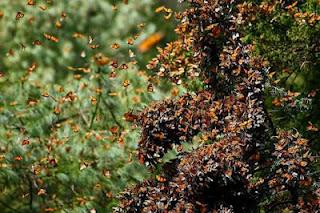 Migrasi Kupu - Kupu Monarch