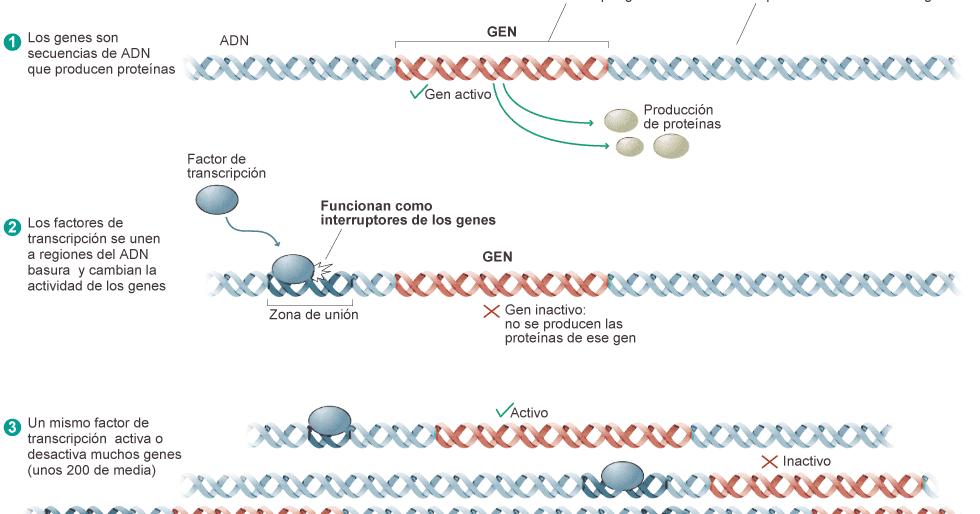 La ciencia ahora: Epigenética: ADN basura, ADN que ...