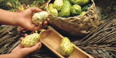 Khasiat buah mengkudu bagi kesehatan dan pengobatan