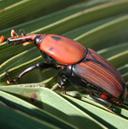 Informació per la prevenció del morrut de les palmeres