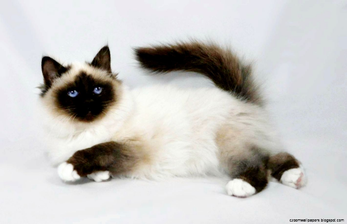Birman Cat Cool Pets 6055