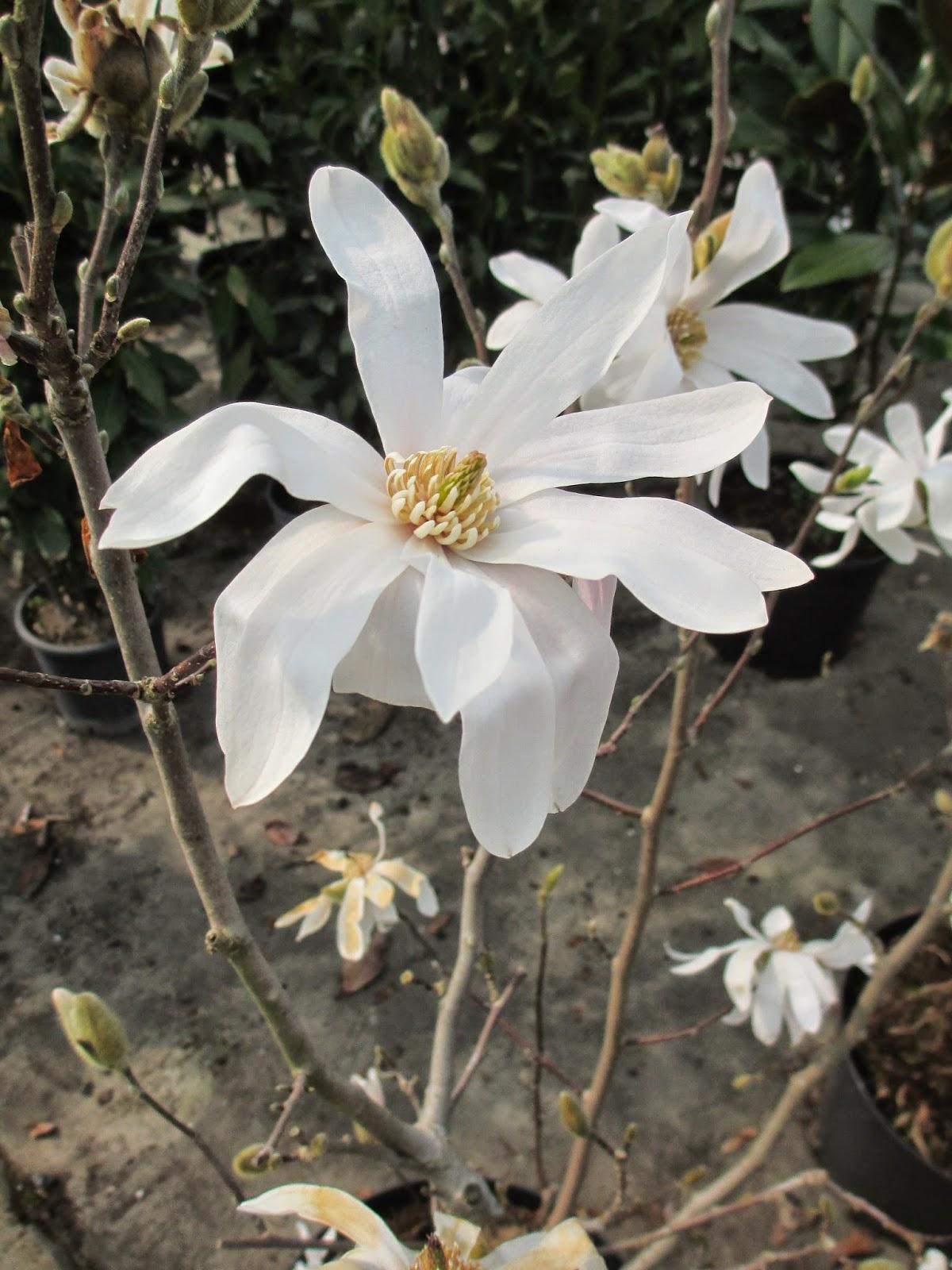 La mar de verde leyenda sobre la magnolia - Magnolia planta cuidados ...