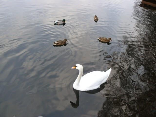 łabądź biały na jeziorze