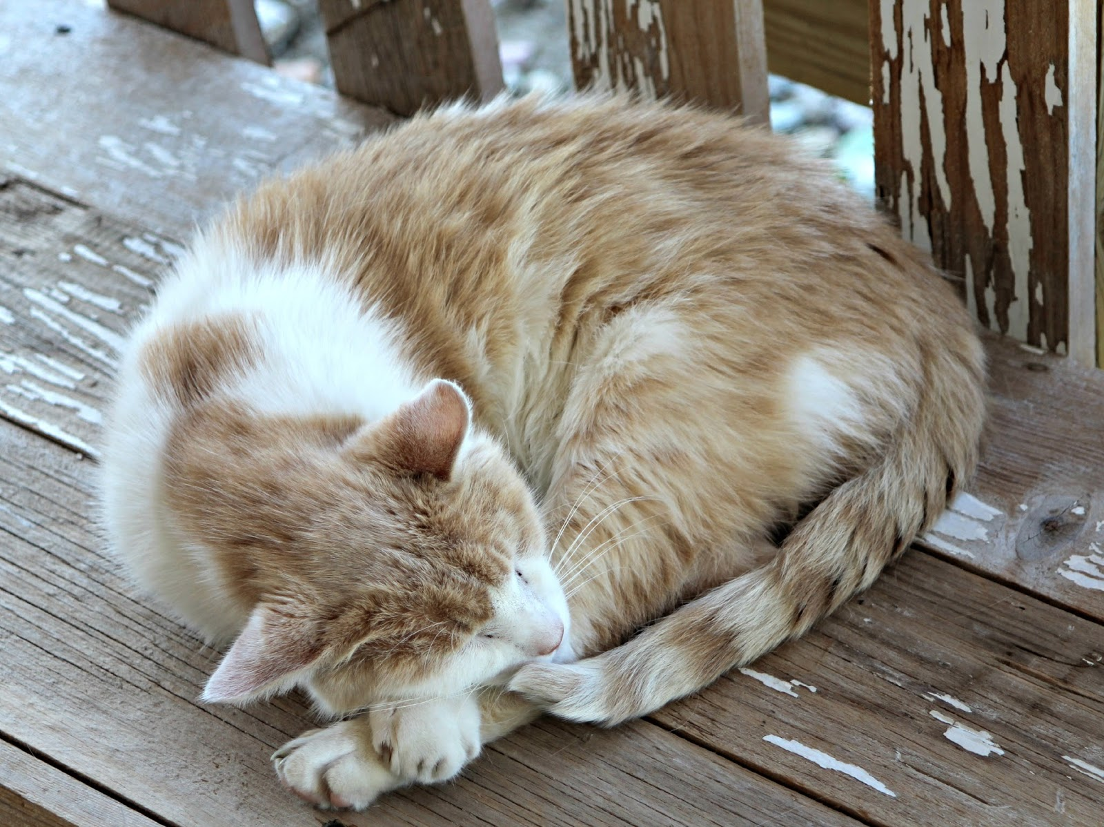 lavender cat - photo #2