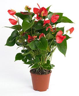 L 39 anthurium piante in fiore e il mio giardino fiorito for Anthurium rosso
