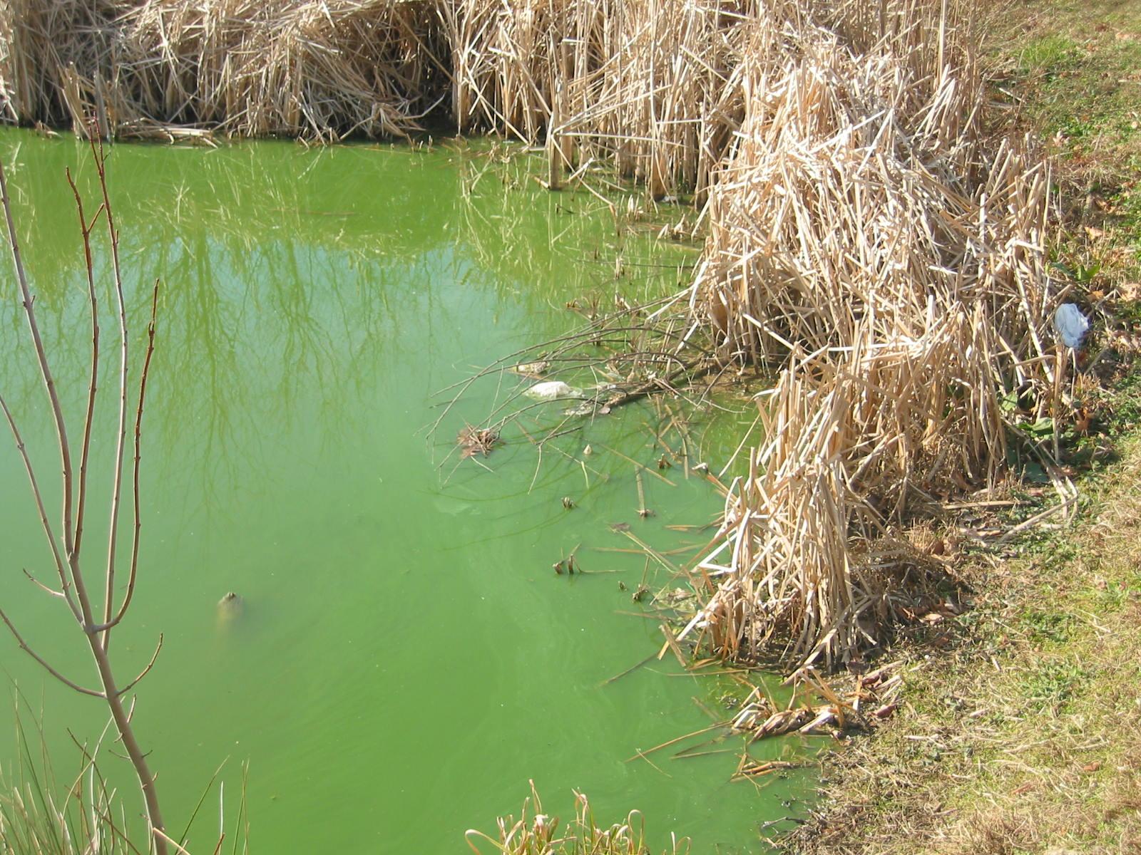 Lake and pond algae in bloom solitude lake management for Algae in fish pond