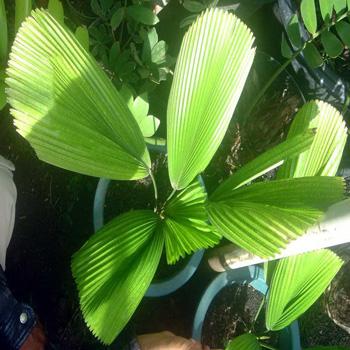 Palm Kol
