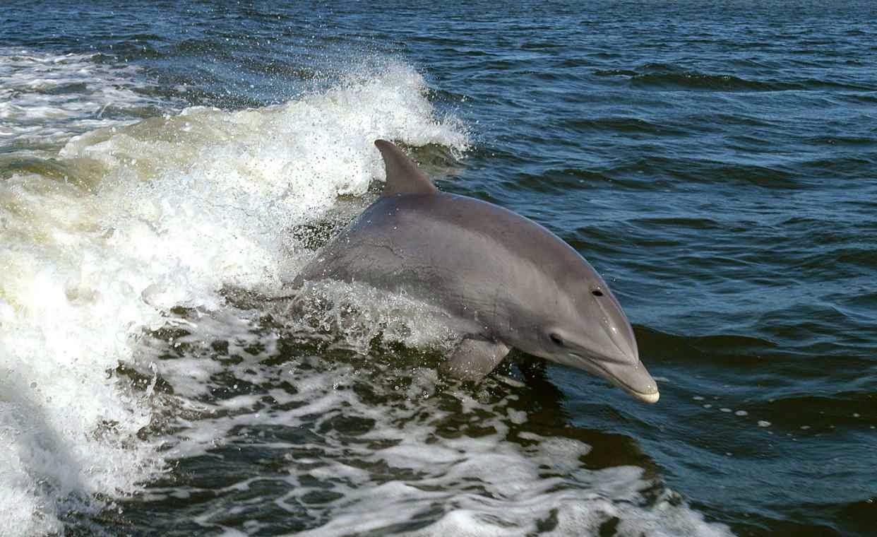 Delfin mular