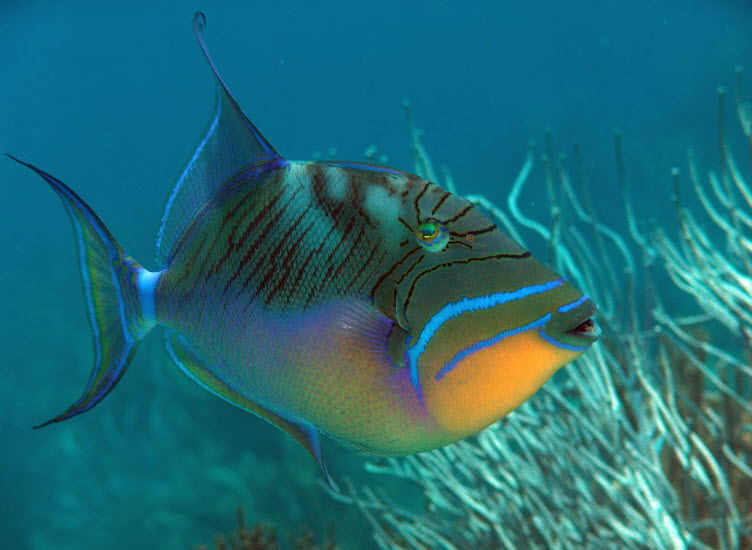 Triggerfish the biggest animals kingdom for Hawaii state fish