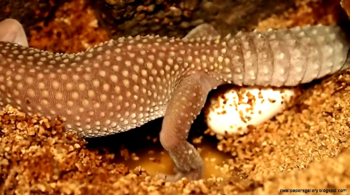 Leopard Gecko Laying Eggs   YouTube
