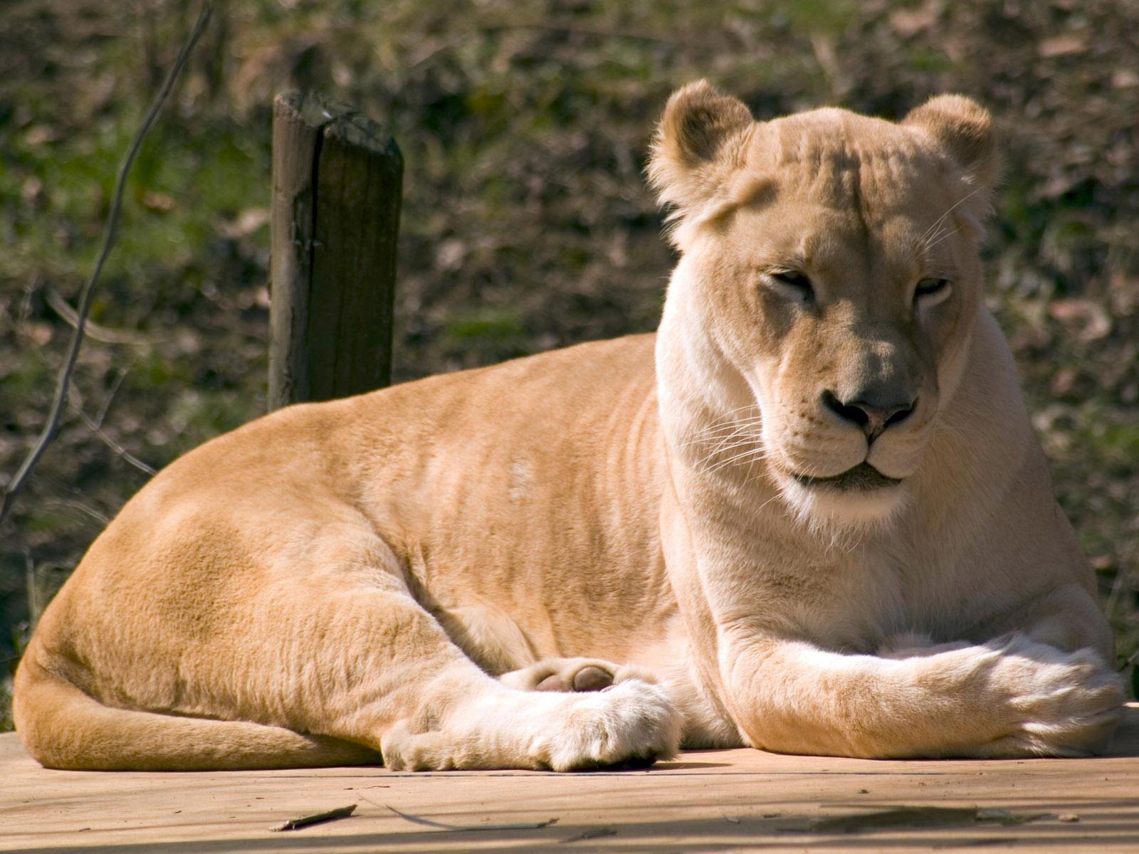 http://3.bp.blogspot.com/--N_aTnivNp8/UFbpiyOtGoI/AAAAAAAAFIA/WARwxYlbfDU/s1600/lion%20wallpaper%2039.jpg