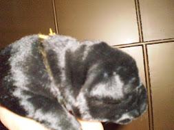 Anak Labrador