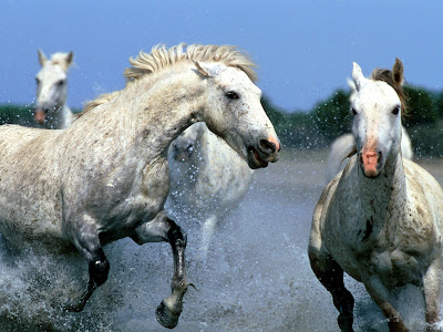 HQ White Running Horses Wallpaper