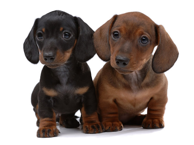 How much does a Dachshund Puppy Cost?