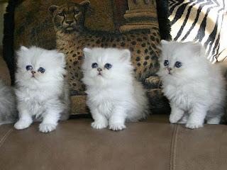 kucing persia medium,  kucing persia himalaya,  kucing persia murah,  kucing persia peaknose,  kucing persia hitam,  kucing persia putih,  kucing persia lucu,  kucing persia dan anggora,  kucing persia flat nose,  kucing persia murah 2015,  kucing persia anggora,  kucing persia asli,  kucing persia adalah,  kucing persia anakan,