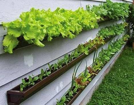 http://3.bp.blogspot.com/--OGxl2GA2Q8/VTY1HmuMKYI/AAAAAAAAWY8/a2goEuQ2Htk/s1600/container-gardening-lettuce-vertical-wall-gutters-teaser-photo.jpg