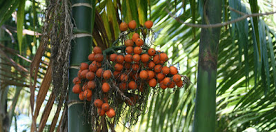 Khasiat buah pinang dan bahayanya