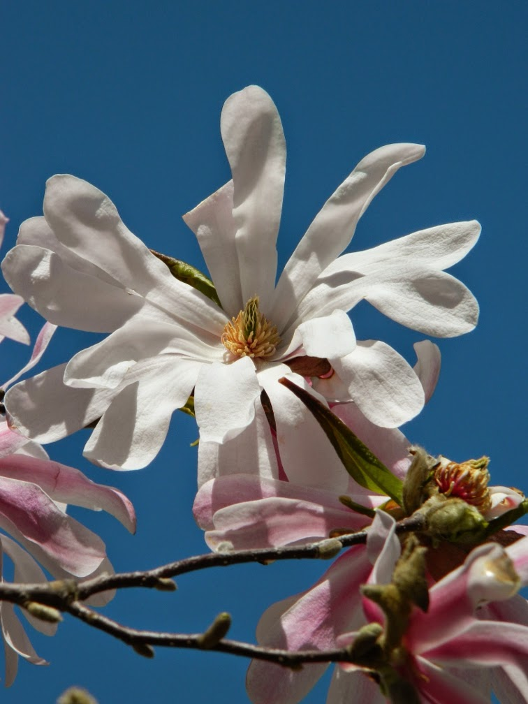 Magnolia x loebner Leonard Messel magnolia by garden muses-not another Toronto gardening blog