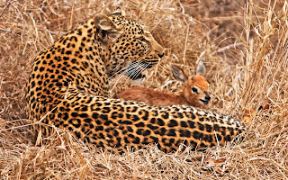 cute steenbok with leopard
