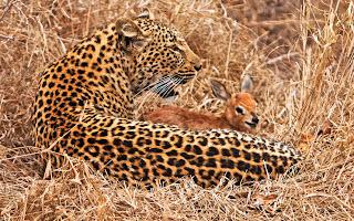 cute steenbok with leopard