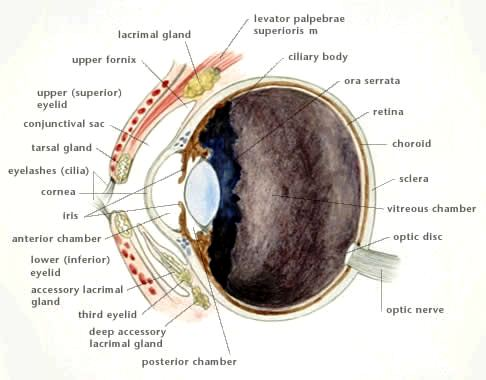 Anatomy of a dogs eye