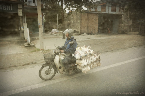 Transporting ducks in Vietnam