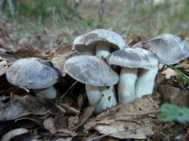 FREDOLIC (Tricholoma terreum)